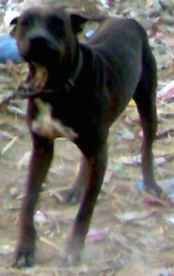 Front view - A brown with white Pakistani Mastiff is standing in dirt and there is trash all over the ground.