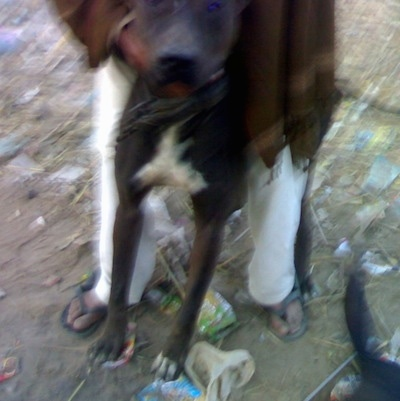 Front view - A brown with white Pakistani Mastiff dog is standing in dirt and there is trash all over the ground. There is a man in white pants a brown shirt and blak flip flops standing over top of it.