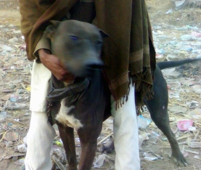 Front view - A brown with white Pakistani Mastiff is standing in dirt and there is trash all over the ground. There is a man in white pants and a brown shaw standing over top of it. The dog is looking to the right.