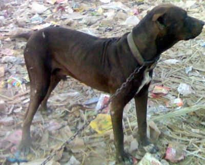 Right Profile - A brown Pakistani Mastiff is connected to a chain standing in rubble  looking to the right.