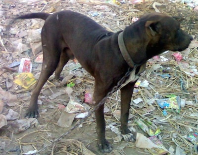 Side view - A brown Pakistani Mastiff is on a chain standing on top of trash looking to the right.