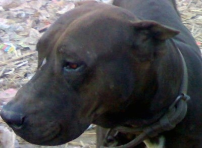 Close up head shot - A brown Pakistani Mastiff is standing on top of a bunch of trash looking to the left