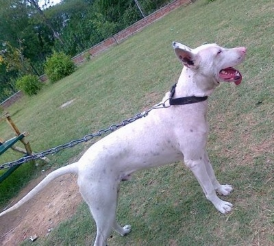 Right Profile - A white Pakistani Bull Terrier is on a chain standing in patchy grass looking forward. Its mouth is open and its tongue is hanging out to the left side.