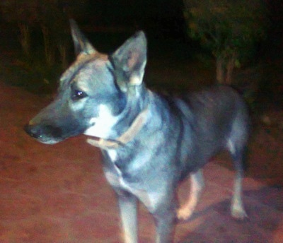 Front side view - A black with white and tan Pakistani Shepherd Dog is standing on a walkway at night looking to the left.