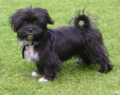 Left Profile - A furry, black with white Papastzu is standing in grass looking towards the camera. Its tail is curled up over its back. It has a pink heart pendant hanging from its collar.