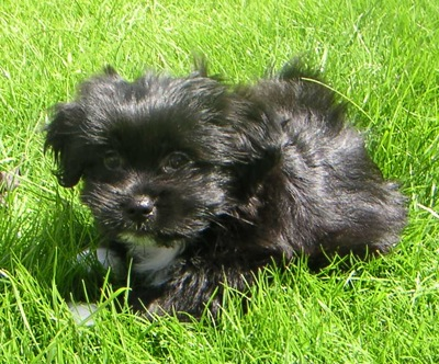 Front side view - A furry, shiny black with white Papastzu puppy is laying in grass looking forward.