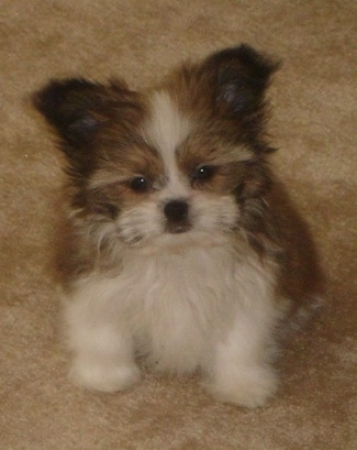 A perk-eared, very fluffy, soft-looking, tan and white Papastzu puppy is sitting on a tan carpeted floor looking forward