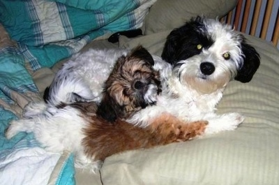 Side view of two small Papastzu dogs laying down on a human's bed - One dog is an adult and is black and white and the dog laying in front is a brown, black and white puppy that has all four of its paws stretched out.