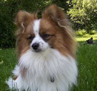 pomeranian papillon paperanian dog breed information and pictures 9448
