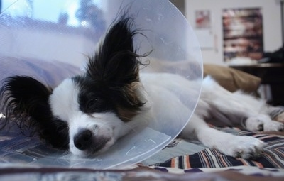 Close up view from the front - A white with brown and black Papillon is wearing a clear plastic cone around its neck sleeping on its right side on top of a bed.