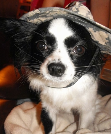Close up front view - A black and white Papillon wearing an army camo hat standing on a white blanket.