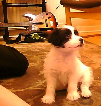 Front view - A white with black Patterjack puppy is sitting on a rug looking up and to the right. There is a Guitar Hero Guitar and Drum kit for the Nintendo Wii in the background.