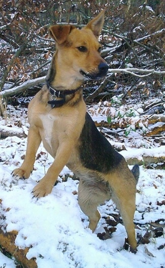 Front side view - A black and tan with white Patterjack is jumped up with its front paws up on a mound of snow and it is looking to the right. There is snow all around its muzzle. One of its ears is perked up and the other is flopped over.