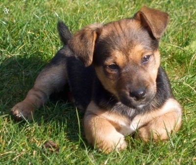 Front view - A black and tan with white Patterjack puppy is laying in grass and it is looking forward. Its head is slightly tilted to the left.