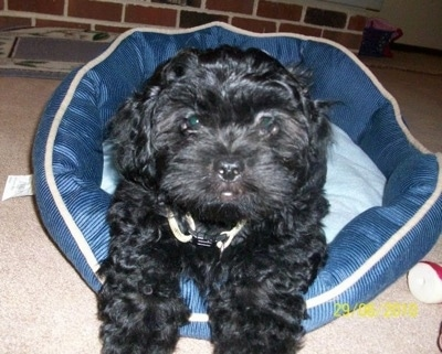 Close up front view - A shiny coated, wavy, black Peek-A-Poo puppy is laying on a blue dog bed looking forward.