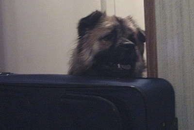 Head shot - A tan with black Peke-a-poo is sitting behind a travel suitcase and it is looking to the right.