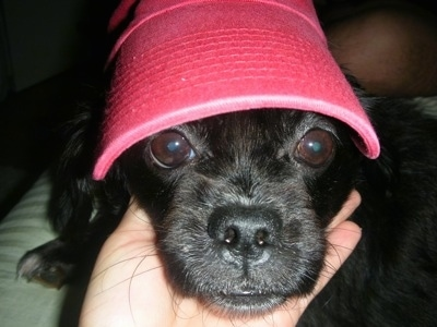 Close up - A black Peke-a-poo is wearing a red bucket hat and a persons hand is under its chin.