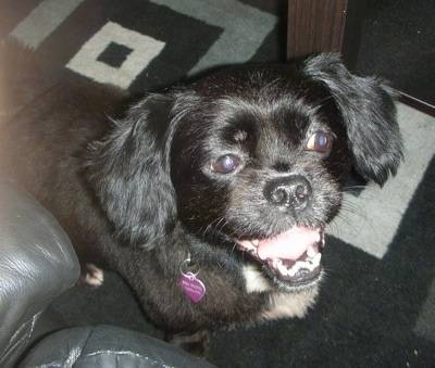 Pekepoo Dog Breed Pictures 3