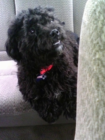 A wavy-coated black Pekepoo dog is laying in the backseat of a vehicle looking up and to the right. Most Likely at the person in the drivers seat.
