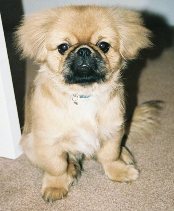Close up front view - A tan with black Peke-a-poo dog is sitting on a tan carpet in a doorway looking forward.