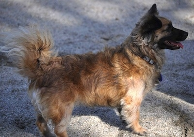 Right Profile - A perk-eared, shaggy looking, brown and tan with black and white Peke-Italian is standing on a stone surface.