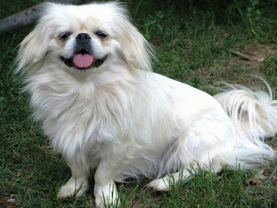 Side view - A white Pekingese is sitting in a field and it is looking forward. Its mouth is open and its tongue is out.