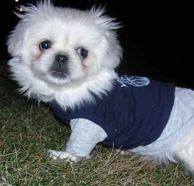 Close up upper half - A white Pekingese puppy is standing across a field in grass and it is looking forward. The puppy is wearing a long sleeved shirt under a t-shirt.