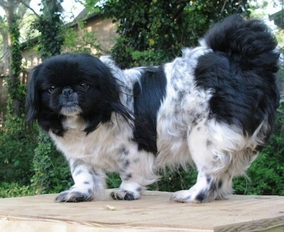 Left Profile - A black and white parti-colored Pekingese is standing on a wooden table and it is looking forward.
