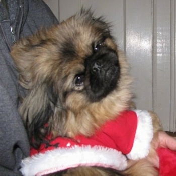 A tan with black and white Pekingese puppy is laying in the arms of a person wearing a santa clause jacket.
