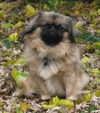 Front view - A tan with black and white Pekingese is sitting in grass that is covered in green and brown fallen leaves looking forward with its head tilted to the right.