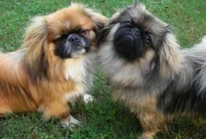 Upper body shots - Two Pekingese are standing with their chests facing each other on grass with their heads touching. They are both turned to look at the camera.