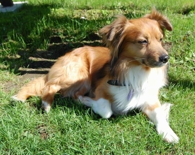 Front side view - A rose-eared, medium haired, red with white Pembroke Sheltie is laying in grass looking to the right.
