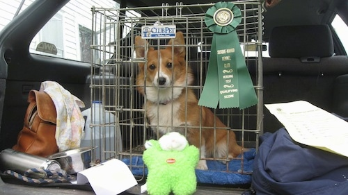 A tan with white Pembroke Welsh Corgi is sitting in a crate that has a green ribbon on it. The cage is placed in the back hatch area of a vehicle. There is a green plush toy in front of the cage and a leather hand bag and a water jug to the left.