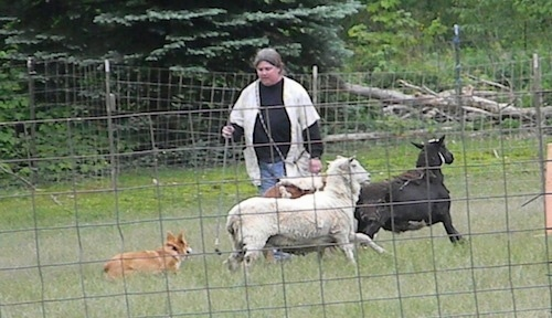 A tan with white Pembroke Welsh Corgi is running behind three sheep in a field. There is a lady standing behind them while the Corgi runs around the farm animals.