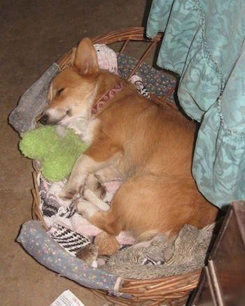 A tan with white Pembroke Welsh Corgi is sleeping in a wicker basket.