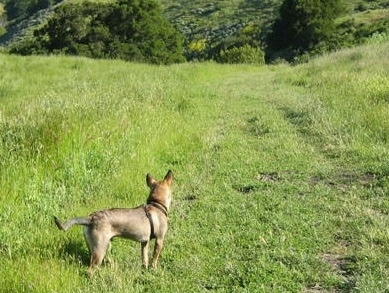 Side view - The backside of a tan with brown and black Phu Quoc Ridgeback dog is standing in grass looking down a trail that leads into the bushes.