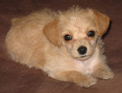 Front side view - A tan Pinny-Poo puppy is laying on a brown surface and it is looking forward. Its head is slightly tilted to the left.