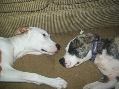 Topdow view of Two American Pit Bull Terrier are laying face to face on a carpet in front of a couch.