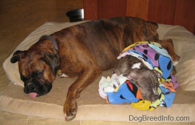 A brown with black and white Boxer is sleeping next to a blue-nose brindle Pit Bull Terrier puppy that is covered in a towel. The puppy is sleeping also. They are on top of a tan dog bed.