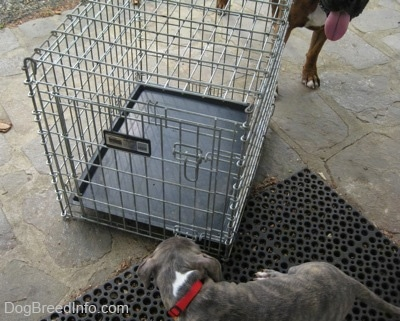 A blue-nose brindle Pit Bull Terrier puppy is standing on a rubber mat and he was looking at a cage on a stone porch. There is a brown with black and white Boxer behind the porch.