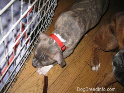 Close up - A blue-nose brindle Pit Bull Terrier puppy is walking along side a crate. There is a brown with black and white Boxer standing next to him.