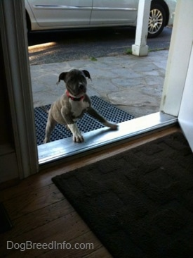 A blue-nose brindle Pit Bull Terrier is trying to climb into a doorway.