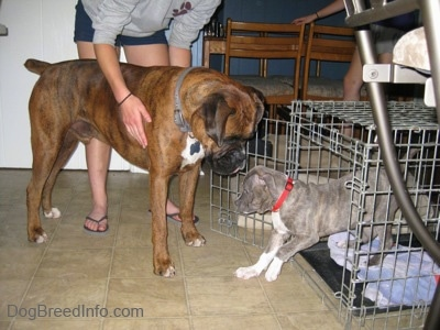 A brown with black and white Boxer is standing in front of a dog crate and a blue-nose brindle Pit Bull Terrier puppy is walking out of the crate.