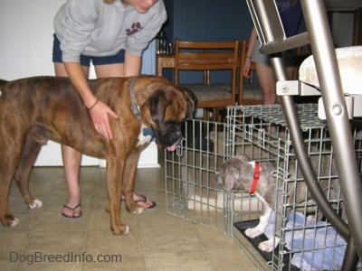 A brown with black and white Boxer is standing in front of a crate and he is looking down at a blue-nose brindle Pit Bull Terrier puppy that is inside of a crate. A person in a gray shirt is touching the sides of the Boxer dog.