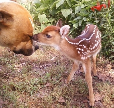 The right side of a brown with white Pit Bull Terriers face that is being sniffed by a baby deer near a bed of flowers