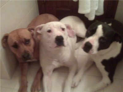 Three Pit Bull Terriers laying down in front of a door