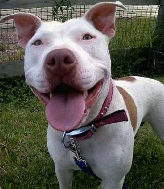 Close up front side view - A large headed, white with tan American Pit Bull Terrier dog is standing in grass looking up happily with its tongue showing. Its mouth is wide, eyes are almond in shape and its ears are perked up with the tips folded over.