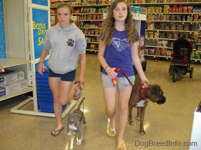 A lady in purple and a lady in grey are leading a blue-nose brindle Pit Bull Terrier puppy and a brown brindle Boxer on a walk through a pet store.