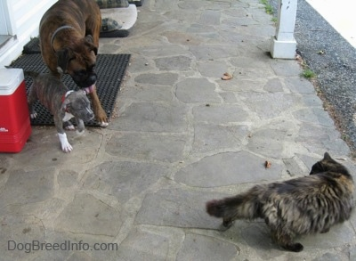 A blue-nose brindle Pit Bull Terrier puppy is standing next to a brown with black and white Boxer on a rubber mat. They are looking across the stone porch at a long haired calico cat.