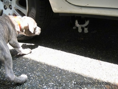 A blue-nose brindle Pit Bull Terrier puppy is leaning down to look at a black and white cat that is under a vehicle.